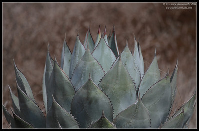 Shaw's Agave, Cabrillo National Monument, San Diego County, California, October 2011