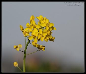 Wild Mustard, San Elijo Lagoon, San Diego County, California, February 2011