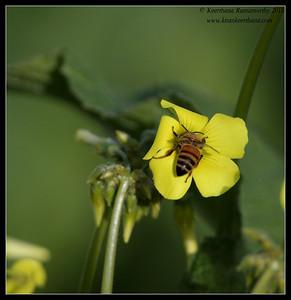 Honey bee in Bermuda Buttercup, La Jolla Cove, San Diego County, California, December 2011