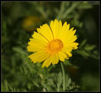 Chrysanthemum coronarium, Robb Field, San Diego River, San Diego County, California, April 2011