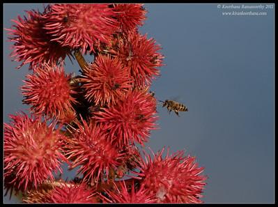 Honey Bee, La Jolla Cove, San Diego County, California, December 2011