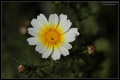 Chrysanthemum coronarium, Tijuana River Estuary, San Diego County, California, March 2011