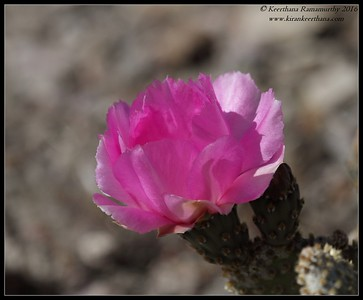Beavertail cactus bloom, Death Valley National Park, California, March 2016