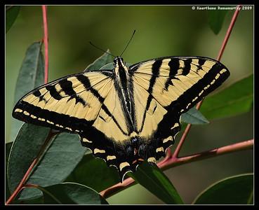 Western Tiger Swallowtail, San Elijo Lagoon, El Camino Real Trail, San Diego County, California, August 2009