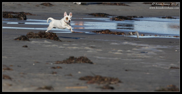 Dog chasing the shore birds, Robb Field, San Diego River, San Diego County, California, February 2012