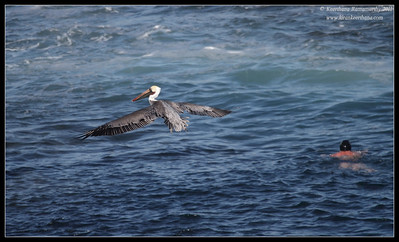 man vs bird, swimming vs gliding, La Jolla Cove, San Diego County, California, October 2011