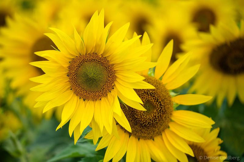 a walk among sunflowers