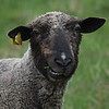 GREG SUKIENNIK -- MANCHESTER JOURNAL<br /> A ewe checks out the situation in the pasture at Meet the Lambs day at Merck Forest and Farmland Center in Rupert on Saturday, May 19.