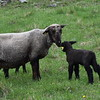 GREG SUKIENNIK -- MANCHESTER JOURNAL<br /> A ewe spends a moment with one of her youngsters during Meet the Lambs day at Merck Forest and Farmland Center in Rupert on Saturday, May 19.