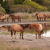 Beaufort_Jill Margeson_Wild Horses at Waterhole