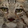 Bobcat - Diane McCall