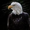 Eagle - Field Trip to Boone Area