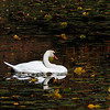 Swan on Bass Lake - Field Trip to Boone Area