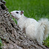 Brevard White Squirrel - Neva K Scheve