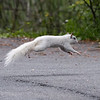 Jennifer German - White Squirrels of Brevard-4