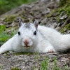 White Squirrel - Neva K Scheve