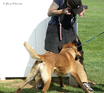 Shooting for Loucyn.com, the official website of top Belgian Malinois breeder, Stephanie O'Brien.  Visit her website and the outcome of this photo and others at: http://www.loucyn.com  Yes, the dog (Ulbert des Contes D'Hoffmann aka Bebear) is biting me on the leg in this photo...a photographer's life is never dull.  Photo by Jeremy Talamantes