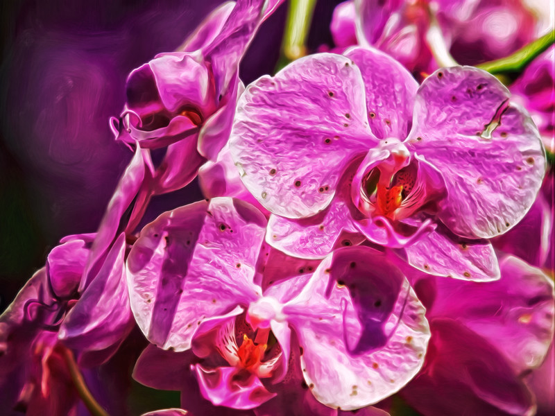 """Magnificent Magenta Orchids"""