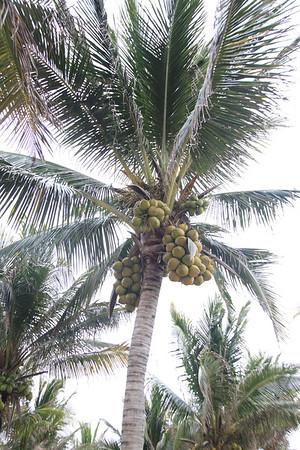 Nawet kokosy są tu bardziej obfite
