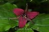 Trillium erectum, Wake-robin; Smyth County, Virginia  2009-05-22  #1