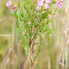 Rhexia aristosa, Awned Meadowbeauty; Atlantic County, New Jersey 2014-08-30   18
