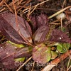Rhexia mariana variety ventricosa, Maryland Meadowbeauty, winter rosette; Cape May County, Lizard Tail Swamp Preserve, Cape May Court House, New Jersey 2014-12-26   1