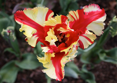 Dandenongs - Tulip Festival