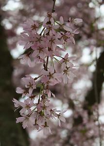 Shirase Sakura at the Dandenong Tulip Farm