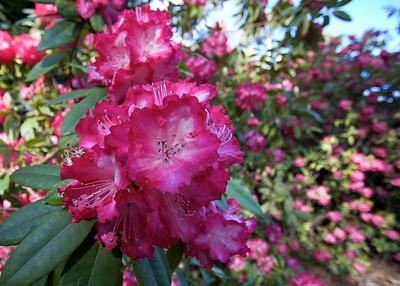 National Rhododendron Garden, Olinda, Victoria