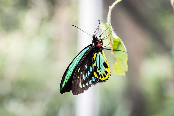 Richmond birdwing butterfly