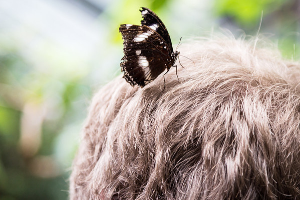 Common eggfly butterfly on Andy's head
