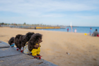 Hedgehogs on a day out at St Kilda beach.