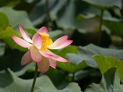 Lotus at Botanical garden