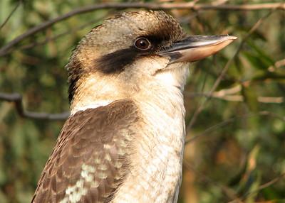 Kookaburra Bird