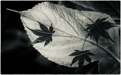 The last few leaves of autumn. May 2011