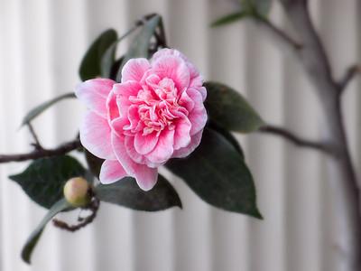 Pink flower, St Kilda Rd. Sep 2011