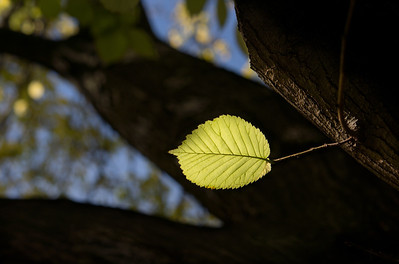 A leaf in the sunlight.  Lincoln Park, Carlton. June 2012