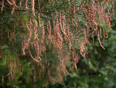 Wattle Seed Pods