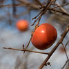 Fresh, delicious persimmons in our friend's backyard