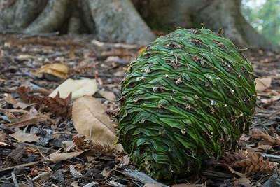 Big Bunya Pine cone under a tree