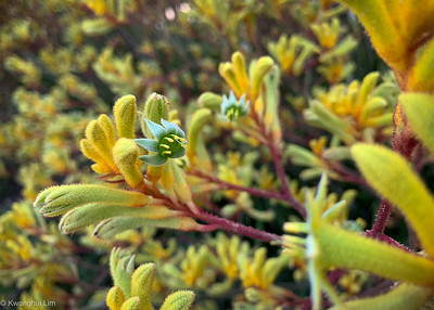 Kangaroo paws - yellow.