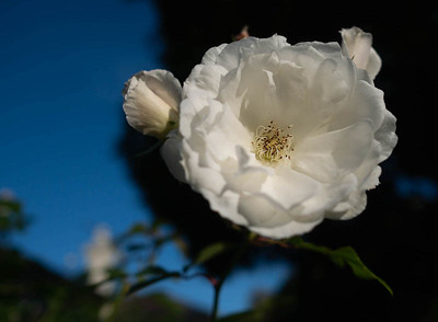 White flower, blue sky.