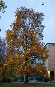 Dusk at the Big Yellow Tree @Unimelb.