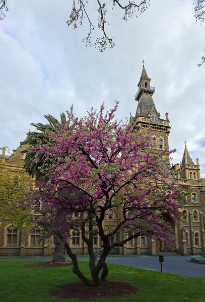 Purple tree, Ormond college
