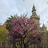 Purple tree, Ormond college