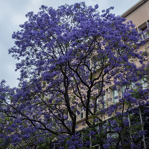 Purple Jacaranda at Engineering School. Dec 2012