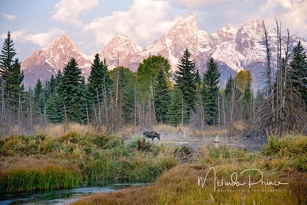 Moose in morning sun, Schwabacher's Landing, Wyoming