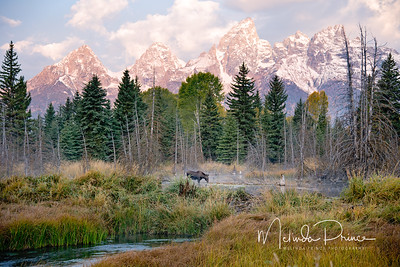 Moose in morning sun, Schwabacher's Landing, Wyoming