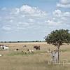 Longhorns in Brazos