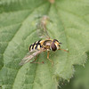 fly on leaf1